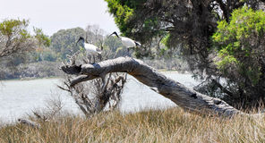 Australian White Ibises royalty free stock images