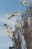 Australian White Sulphur Crested Cockatoos in Flight stock image