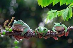 Free Australian White Tree Frog On Leaves, Dumpy Frog On Branch, Animal Closeup, Amphibian Closeup Stock Photos - 162384203