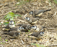 Australian widlife double bar finches. Australian double bar finches feeding on grain Stock Photo