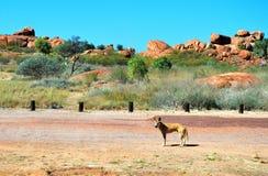 Australian wild dingo. Near Devils Marbles, Northen Territory Royalty Free Stock Image