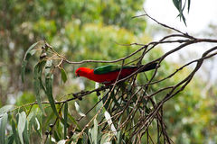 Australian wild parrot in the nature Stock Image