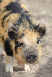 Australian Wild Pig Royalty Free Stock Photography
