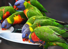 Australian wild Rainbow Lorikeets drinking fruit nectar at Currumbin Sanctuary Royalty Free Stock Photo