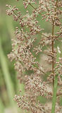 Australian wildflower flora of Lomandra multiflora Matrush Stock Photos