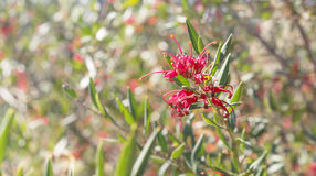 Australian wildflower Grevillea splendour. A native shrub against bokeh colorful floral background in winter stock photo