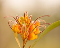 An Australian Wildflower Grevillea venusta Stock Image