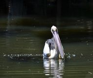 Pelican Feeding on the Swan River Western Australia royalty free stock photo