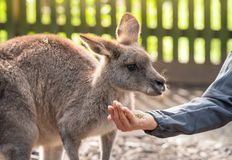 Australian wildlife : Person hand feeding wild kangaroo, outdoors from hand. Kangaroos have large, powerful hind legs, large feet royalty free stock photos