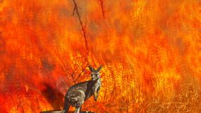 Australian wildlife in wildfires cinemagraph
