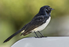 Australian willie wagtail. Charming little Australian willie wagtail Rhipidura leucophrys in smart black and white plumage Royalty Free Stock Photography