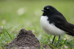 Australian Willy Wagtail next to an anthill Stock Image