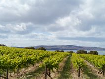 An Australian wine vineyard Royalty Free Stock Photography