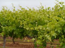 An Australian wine vineyard Royalty Free Stock Images