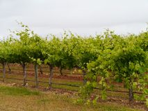 An Australian wine vineyard. A wine vineyard on Kangaroo island in Australia royalty free stock photo