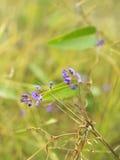 Australian winter wild flower Hardenbergia Sarsaparilla Stock Image