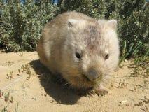 Australian Wombat. Wombat, Vombatus ursinus, Wilsons Promontory Victoria Australia Royalty Free Stock Images