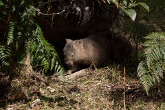 Australian wombat in bushland. An Australian wombat emerges from his underground burrow in bushland Stock Image