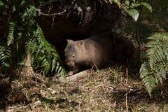 Australian wombat in bushland Stock Image