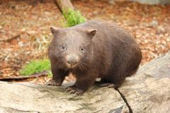 Australian Wombat stock photography