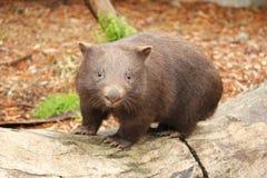 Australian Wombat. January 14 2015 Victoria Australia. Furry Common wombat `Vombatus-Ursinus` Marsupial on a log in Australia. A wombat lives in burrows Stock Photography