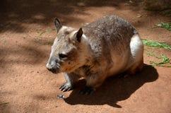 Australian wombat juvenile Vombatus ursinus. Common wombat (Vombatus ursinus). Wild life animal royalty free stock images