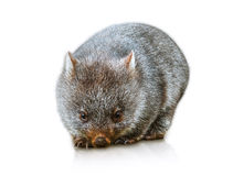 Australian Wombat. Little wombat female 3 months. Isolated on white background. Family of Wombat, mammal, marsupial herbivore that lives in Australia in forested Stock Image