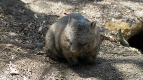 An Australian wombat searching for food, Australia. An Australian wombat searching for food in Australia royalty free stock images