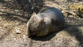 An Australian wombat searching for food, Australia royalty free stock image