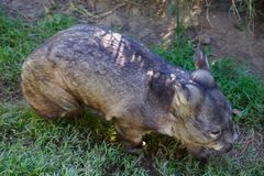 Australian wombat. Short-legged, mascular marsipul, native to australia Royalty Free Stock Photo