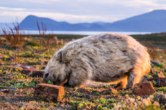Australian Wombat at sunset. Close-up of Australian Wombat at sunset on Maria Island, Tasmania, Australia Stock Image
