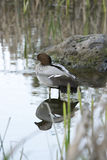 Australian wood duck Royalty Free Stock Photo