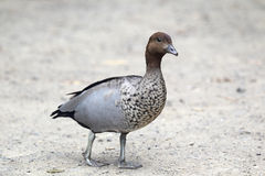 Australian wood duck (Chenonetta jubata). In Kennett River at the Great Ocean Road, Victoria, Australia Stock Photo