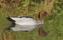 Australian Wood Duck Stock Images