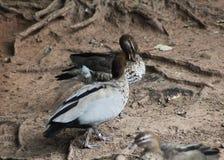 Australian wood duck Stock Photography