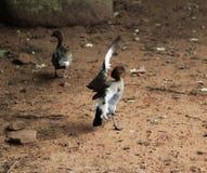 Australian wood duck Stock Photos