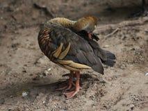 Australian wood duck. Close up of Australian wood duck Royalty Free Stock Image