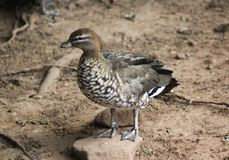 Australian wood duck. Close up of Australian wood duck Royalty Free Stock Images