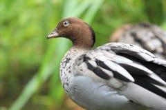 Australian wood duck Royalty Free Stock Photos