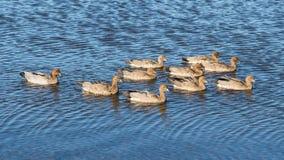 Australian Wood Duck Family Group. A family of Australian Wood Duck Chenonetta jubata swimmimg at Herdsman Lake in Perth, Western Australia stock photos