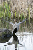 Australian wood duck flapping wings Stock Photo