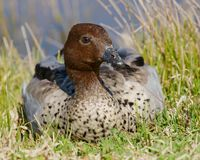 Australian wood duck royalty free stock images