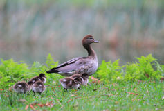 Australian Wood Duck or Maned Duck Stock Photos