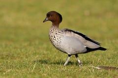 Australian wood duck or maned duck, Chenonetta jubata, royalty free stock image