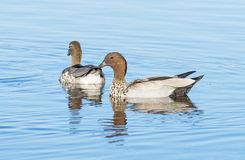 Australian Wood Duck. A pair of Australian Wood Duck, Maned Duck or Maned Goose Chenonetta jubata, a dabbling duck found throughout much of Australia Royalty Free Stock Image