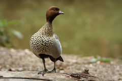 Australian Wood Duck in the wild. Australian Wood Duck standing on a log Stock Image