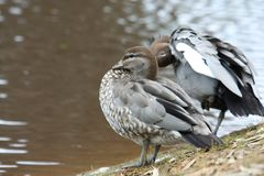 Australian Wood Ducks (Chenonetta Jubata) Royalty Free Stock Photos