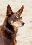 Australian working Kelpie Royalty Free Stock Photography