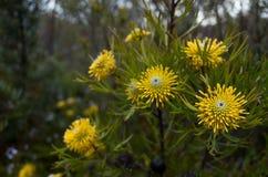 Australian Yellow Bush Flower Narrowleaf Drumstick stock photos