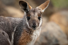 Australian Yellow footed rock wallaby Stock Images